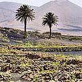 Vineyard On Lanzarote by Karol Kozlowski