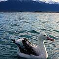 Wandering Albatross by Amanda Stadther