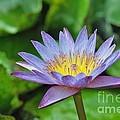 Water Lily 13 by Allen Beatty