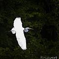 White Egret In Flight by J L Woody Wooden