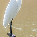 Still Waters White Heron by Dale Powell