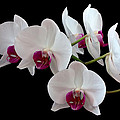 White Orchids by Shirley Mitchell