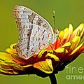 White Peacock Butterfly by Millard H. Sharp