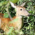 White Tailed Deer Portrait by Neal Eslinger