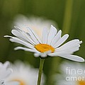 Wildflower Named Oxeye Daisy by J McCombie
