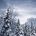 Winter Forest by Elena Elisseeva