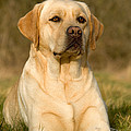 Yellow Labrador by Jean-Michel Labat