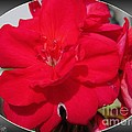 Zonal Geranium Named Candy Cherry by J McCombie