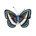 40 Danis Danis Butterfly by Amy Kirkpatrick