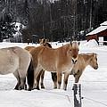 40104-5 Norwegian Horses by Albert Seger