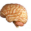 Human Brain by Science Picture Co