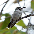 Hummingbird  by Lori Tordsen