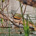 42- Florida Red-bellied Turtle by Joseph Keane