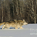 Wolf In Winter by John Shaw