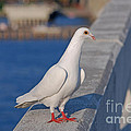 21- White Dove by Joseph Keane