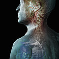 Human Anatomy by Science Picture Co