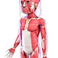 Human Muscular System by Pixologicstudio