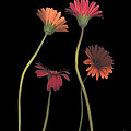 4daisies On Stems by Heather Kirk