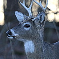 8 Point Buck by Ken Keener