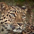 Amur Leopard by Chris Boulton