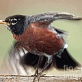 An Entertaining Baby American Robin by J McCombie