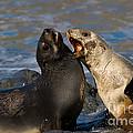 Antarctic Fur Seals by John Shaw