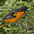 Baltimore Oriole by Anthony Mercieca