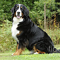 Bernese Mountain Dog by John Daniels