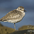 Black-bellied Plover by John Shaw