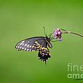 Black Swallowtail Butterfly  by Karen Adams