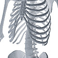 Bones Of The Torso by Science Picture Co