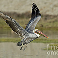 Brown Pelican by Anthony Mercieca