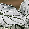 Caladium Named White Christmas by J McCombie