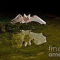 California Leaf-nosed Bat At Pond by Anthony Mercieca