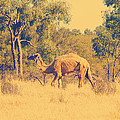 Camel by Girish J