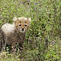 Cheetah  Acinonyx Jubatus by Carol Gregory