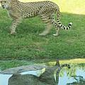 Cheetah by Tinjoe Mbugus