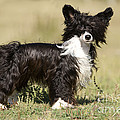 Chinese Crested Dog by Jean-Michel Labat