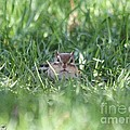 Chipmunk by J McCombie