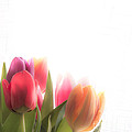 Colourful Tulips In Sunlight by Kerstin Ivarsson