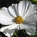 Cosmos Named Sensation Alba by J McCombie