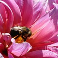 Dahlia Named Lucky Number by J McCombie