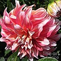 Dahlia Named Myrtle's Brandy by J McCombie