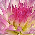 Dahlia Named Star Elite by J McCombie