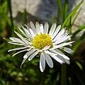 Daisy by Nina Ficur Feenan