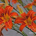 Day Lilly by William Norton