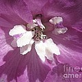 Delphinium Named Magic Fountains Lilac Pink by J McCombie