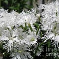 Dianthus Superbus - White by J McCombie