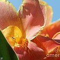 Dwarf Canna Lily Named Corsica by J McCombie