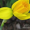 Dwarf Cyclamineus Daffodil Named Jet Fire by J McCombie